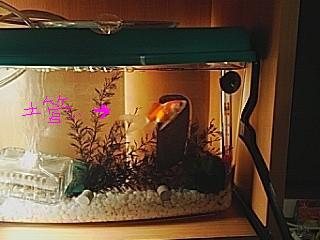 フナ型金魚土管