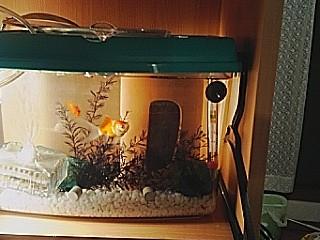 フナ型金魚たち