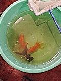 丸金魚's