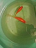 長金魚's